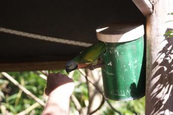 Skægparakit / Moustached parakeet