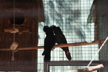 Sorte kakaduer / Black cockatoos