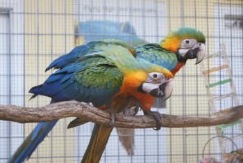 Araer / Macaws