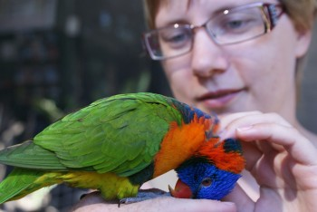 Bjerglori var meget tam / The rainbow lorikeet was tame